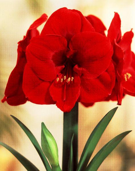 Le rouge dans la nature for Amaryllis rouge signification