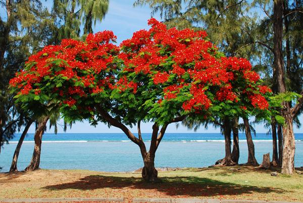 http://www.francoisegomarin.fr/wp-content/uploads/2012/11/flamboyant1.jpg